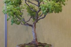 Siberian Pea Shrub - Bill Struhar
