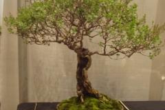 Japanese Lilac - Ron Milostan