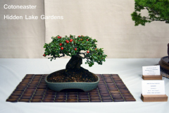 Cotoneaster by Hidden Lake Gardens