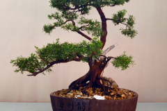 Shimpaku Juniper by Ron Milostan