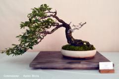 Cotoneaster by Aaron Binns