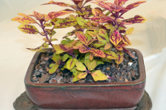 Varigated Coleus by Mark Hanner