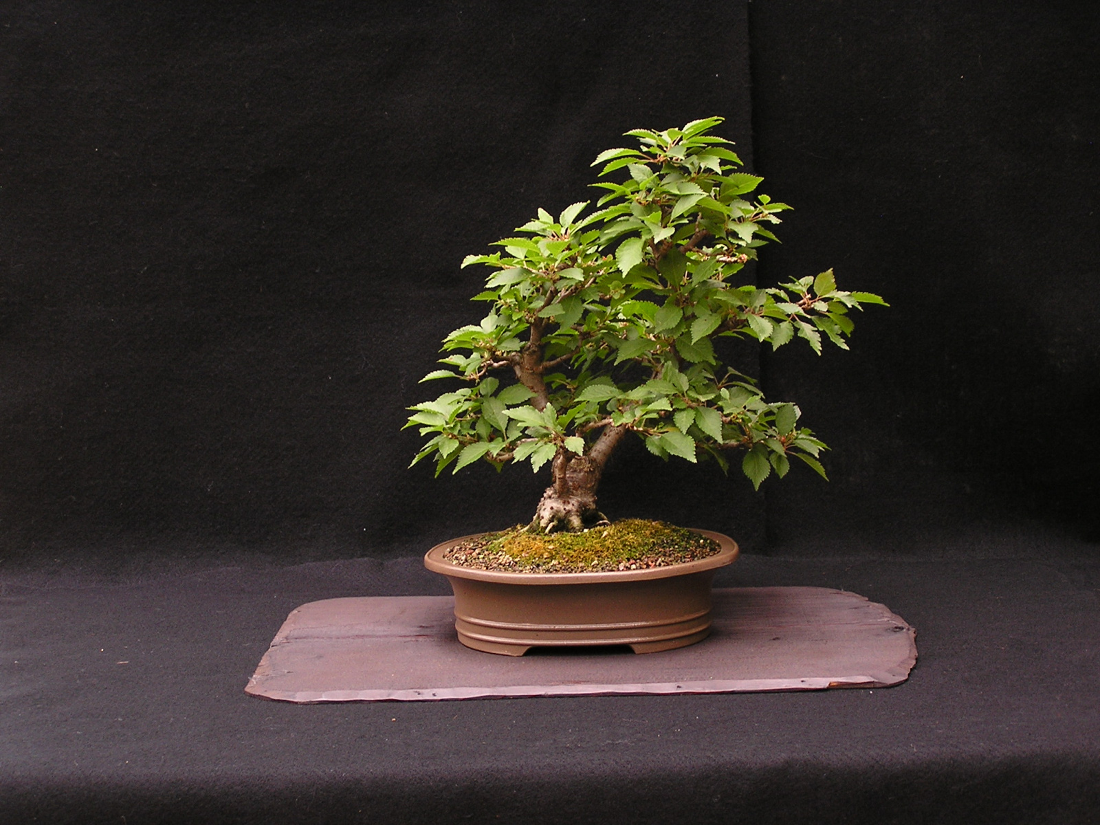 Japanese Contorted Cherry