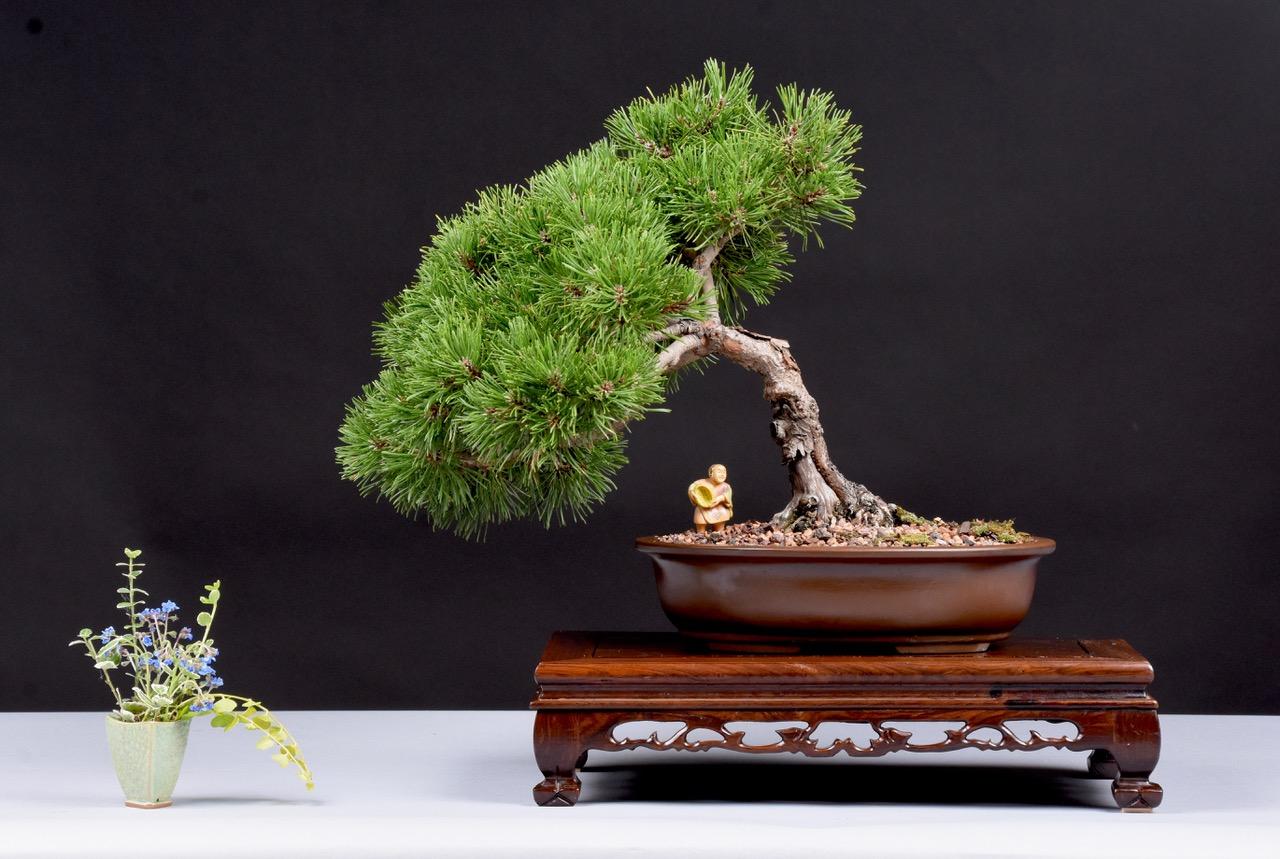Swiss Mountain Pine