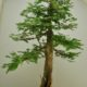 Dawn Redwood, <i>Metasequoia glyptostroboides</i>