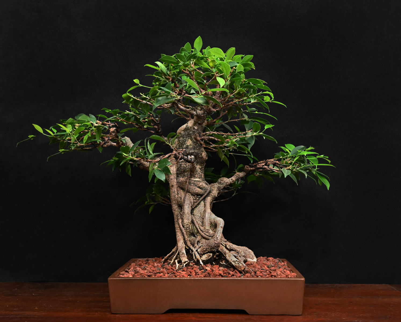 Tiger Bark Fig