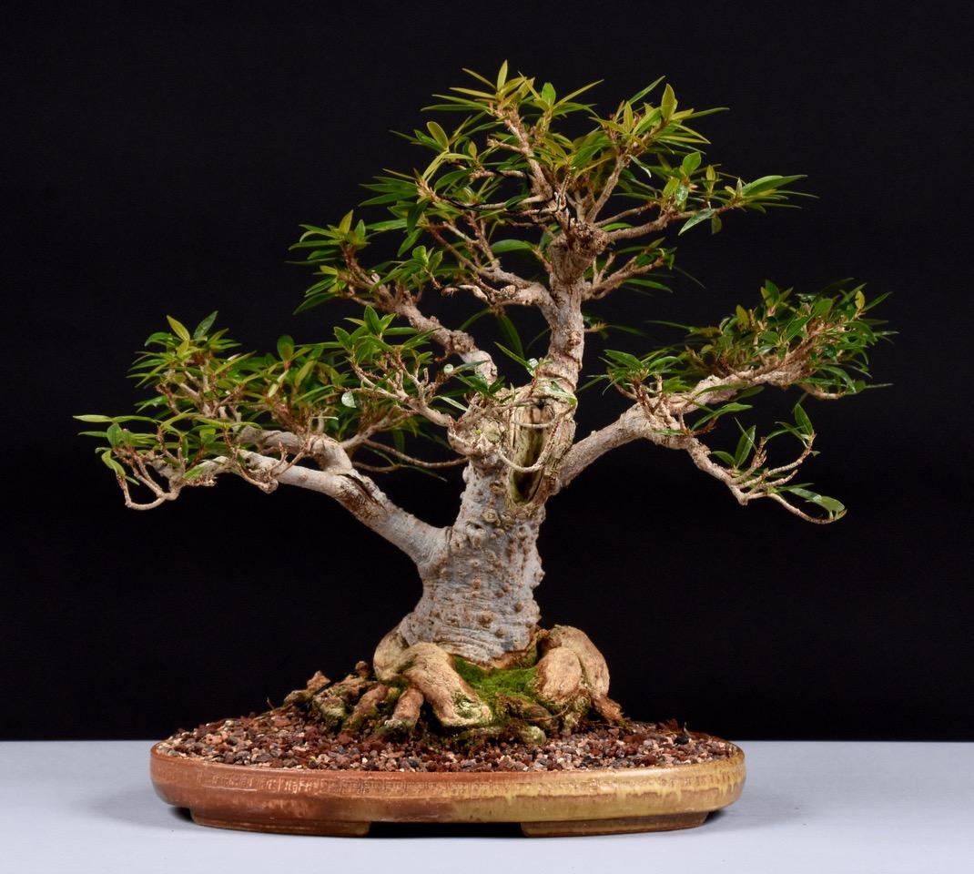 Willow Leaf Fig