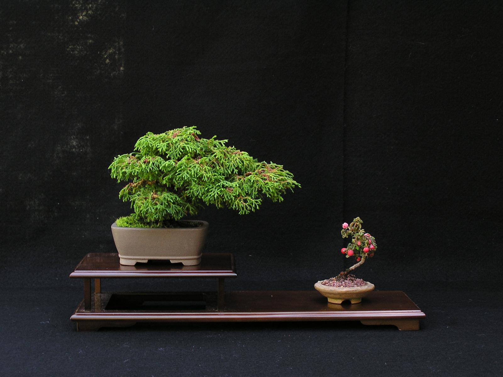 McNab Cypress