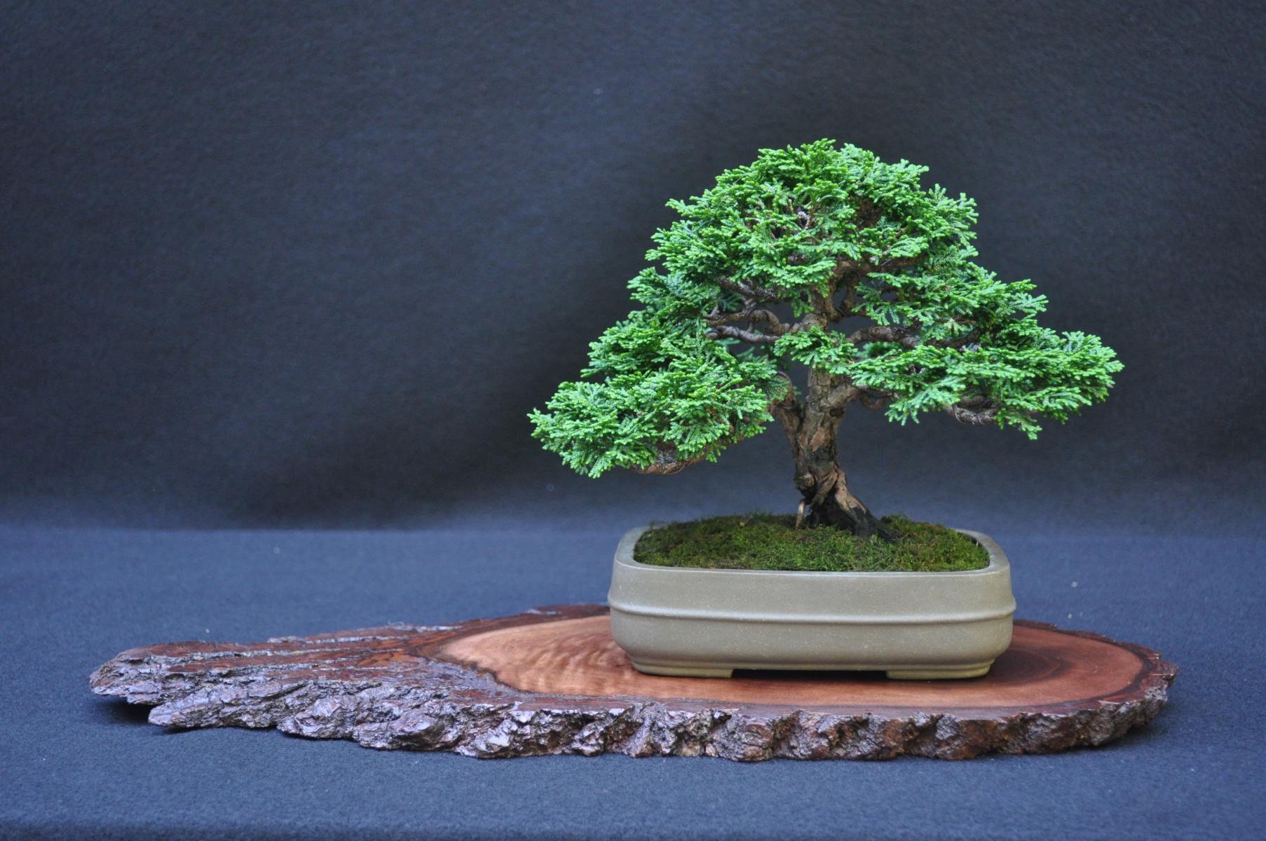 Hinoki Cypress
